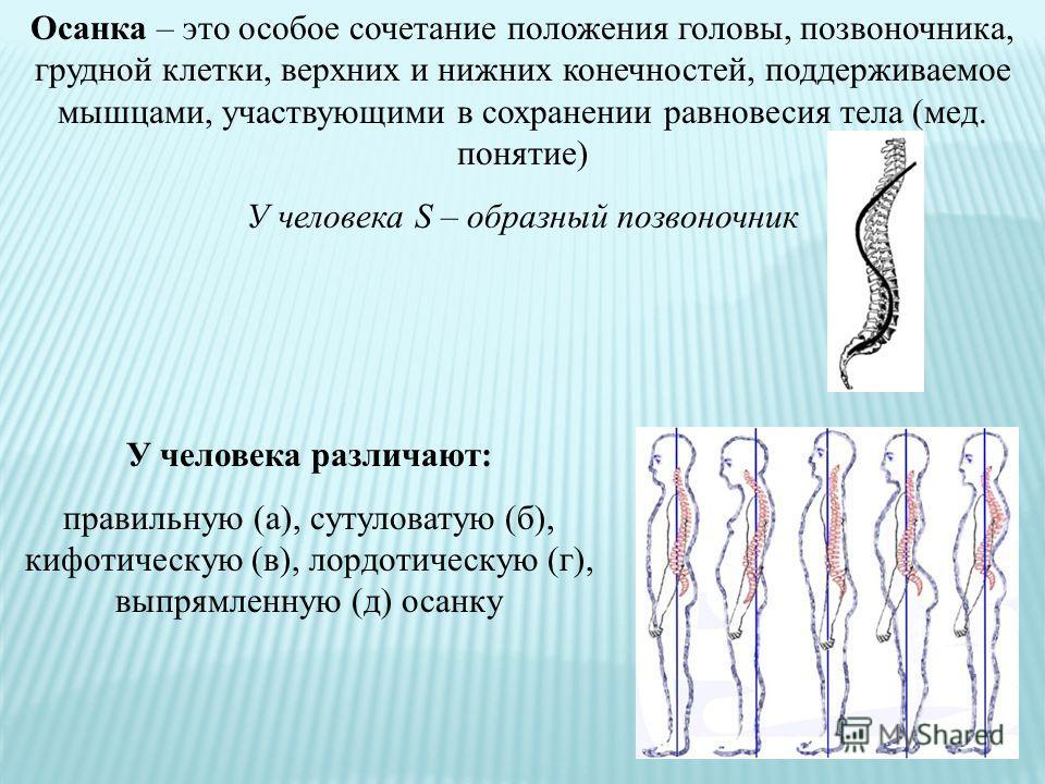 Осанка – это особое сочетание положения головы, позвоночника, грудной клетки, верхних и нижних конечностей, поддерживаемое мышцами, участвующими в сохранении равновесия тела (мед. понятие) У человека S – образный позвоночник У человека различают: пра