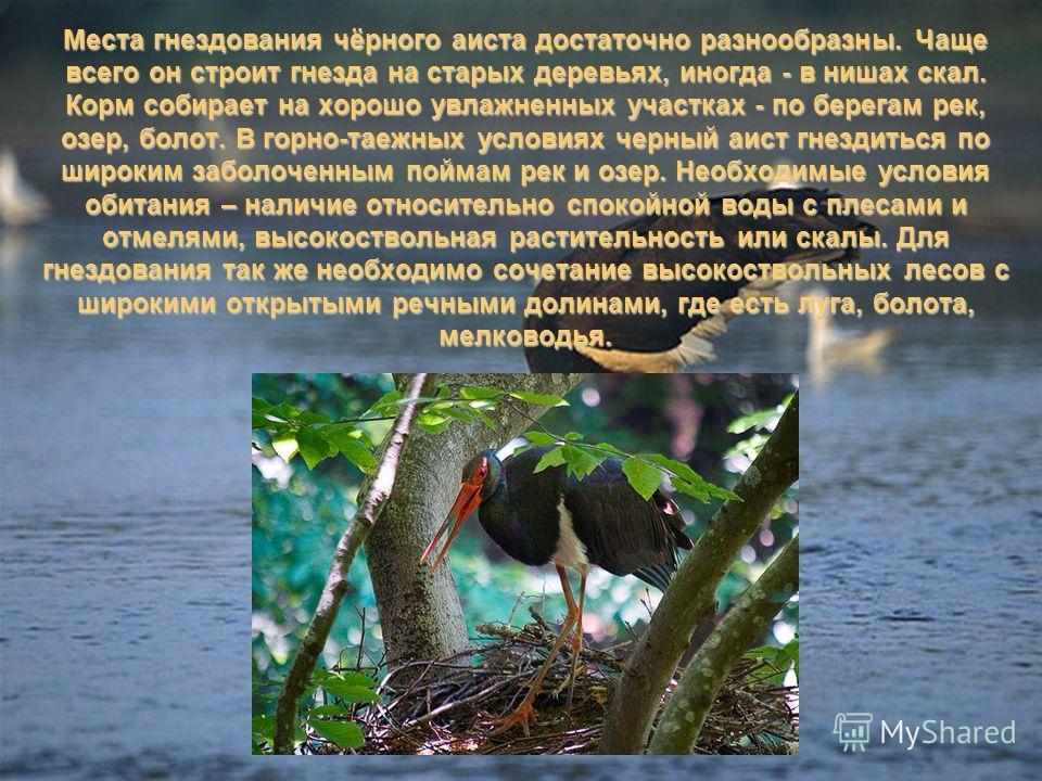 Места гнездования чёрного аиста достаточно разнообразны. Чаще всего он строит гнезда на старых деревьях, иногда - в нишах скал. Корм собирает на хорошо увлажненных участках - по берегам рек, озер, болот. В горно-таежных условиях черный аист гнездитьс
