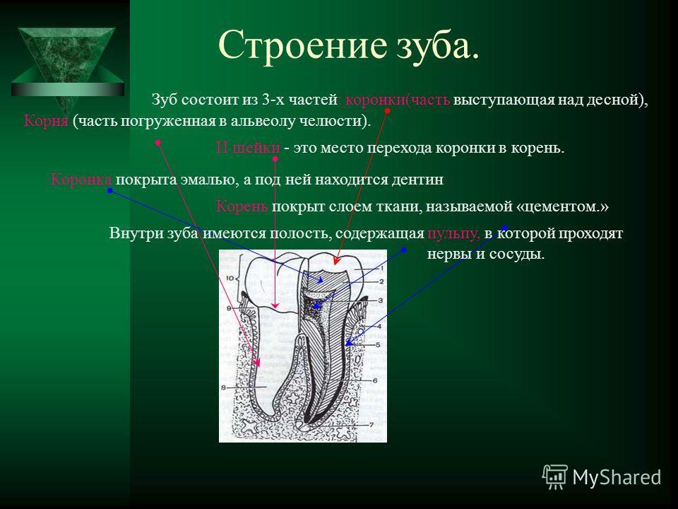 Строение зуба. Зуб состоит из 3-х частей: коронки(часть выступающая над десной), Корня (часть погруженная в альвеолу челюсти). И шейки - это место перехода коронки в корень. Коронка покрыта эмалью, а под ней находится дентин Корень покрыт слоем ткани