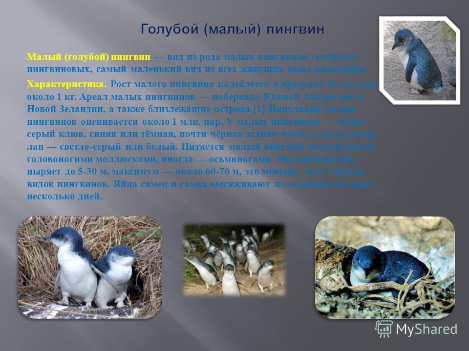 Малый ( голубой ) пингвин вид из рода малых пингвинов семейства пингвиновых, самый маленький вид из всех живущих ныне пингвинов. Характеристика. Рост малого пингвина колеблется в пределах 40 см, а вес около 1 кг. Ареал малых пингвинов побережье Южной