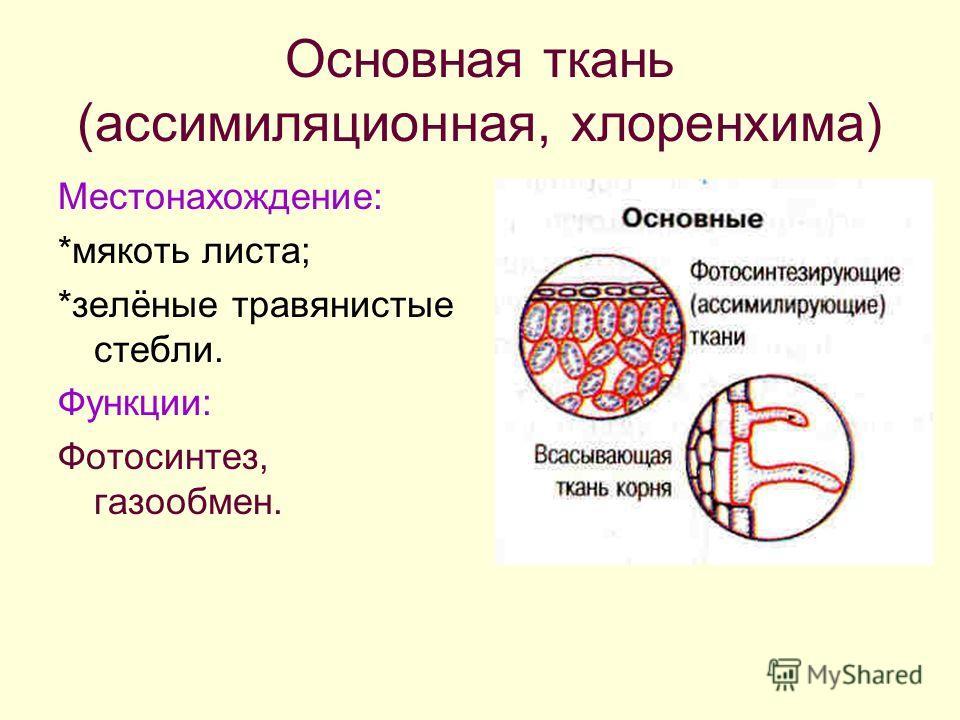 Основная ткань (ассимиляционная, хлоренхима) Местонахождение: *мякоть листа; *зелёные травянистые стебли. Функции: Фотосинтез, газообмен.