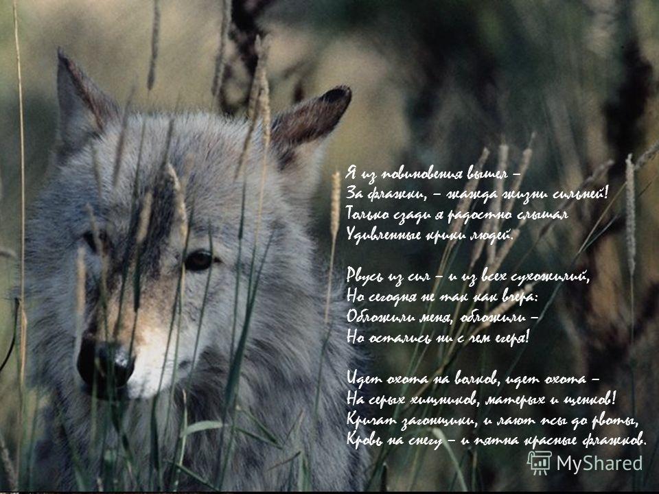 Охота на волков Рвусь из сил – и из всех сухожилий, Но сегодня – опять как вчера: Обложили меня, обложили – Гонят весело на номера! Из-за елей хлопочут двустволки – Там охотники прячутся в тень, – На снегу кувыркаются волки, Превратившись в живую миш