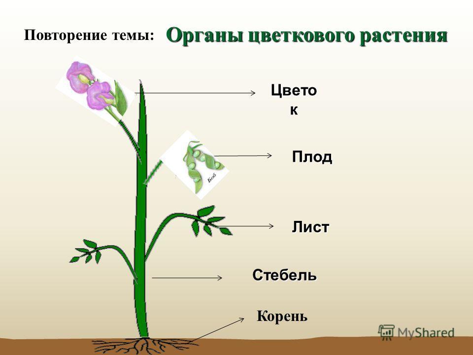 Органы цветкового растения Стебель Лист Цвето к Плод Корень Повторение темы: