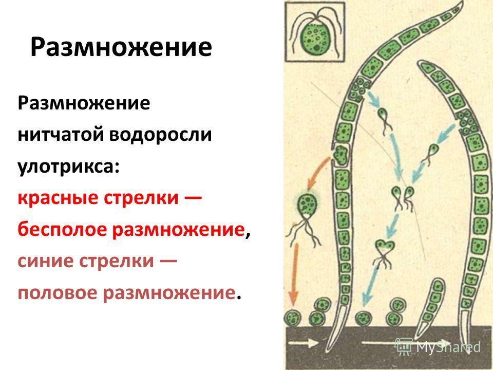 Размножение нитчатой водоросли улотрикса: красные стрелки бесполое размножение, синие стрелки половое размножение.
