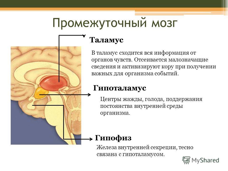 Таламус В таламус сходится вся информация от органов чувств. Отсеивается малозначащие сведения и активизируют кору при получении важных для организма событий. Гипоталамус Центры жажды, голода, поддержания постоянства внутренней среды организма. Гипоф