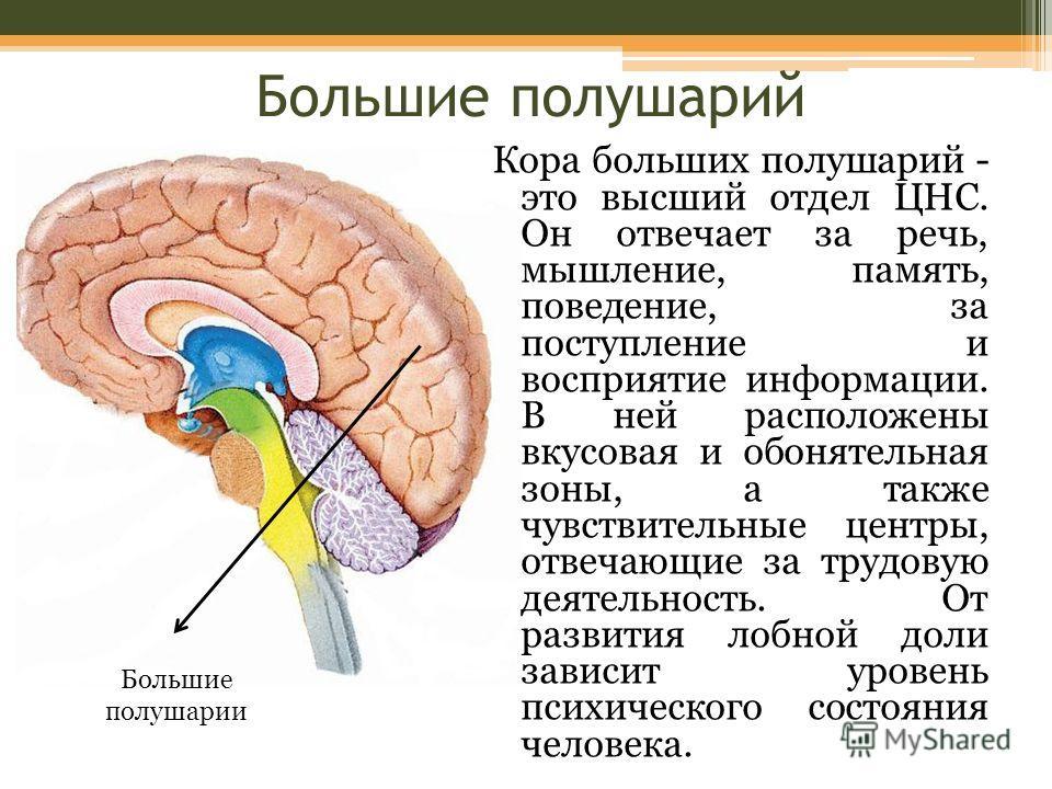 Большие полушарий Кора больших полушарий - это высший отдел ЦНС. Он отвечает за речь, мышление, память, поведение, за поступление и восприятие информации. В ней расположены вкусовая и обонятельная зоны, а также чувствительные центры, отвечающие за тр