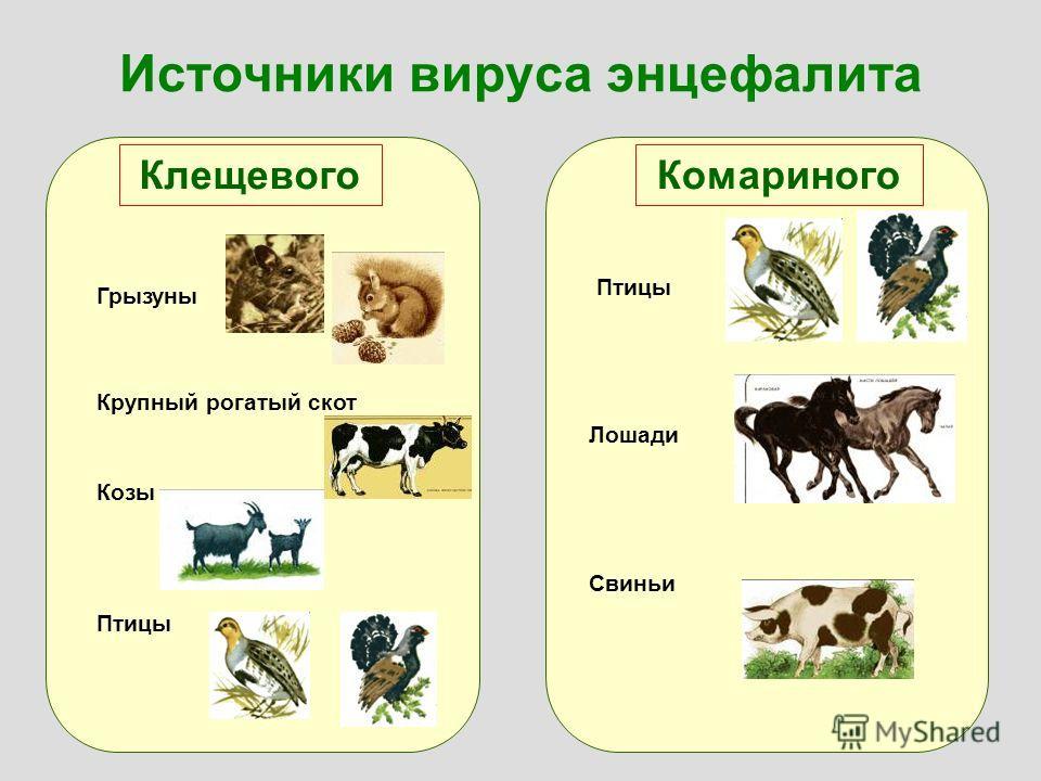 Источники вируса энцефалита КлещевогоКомариного Грызуны Крупный рогатый скот Козы Птицы Лошади Свиньи