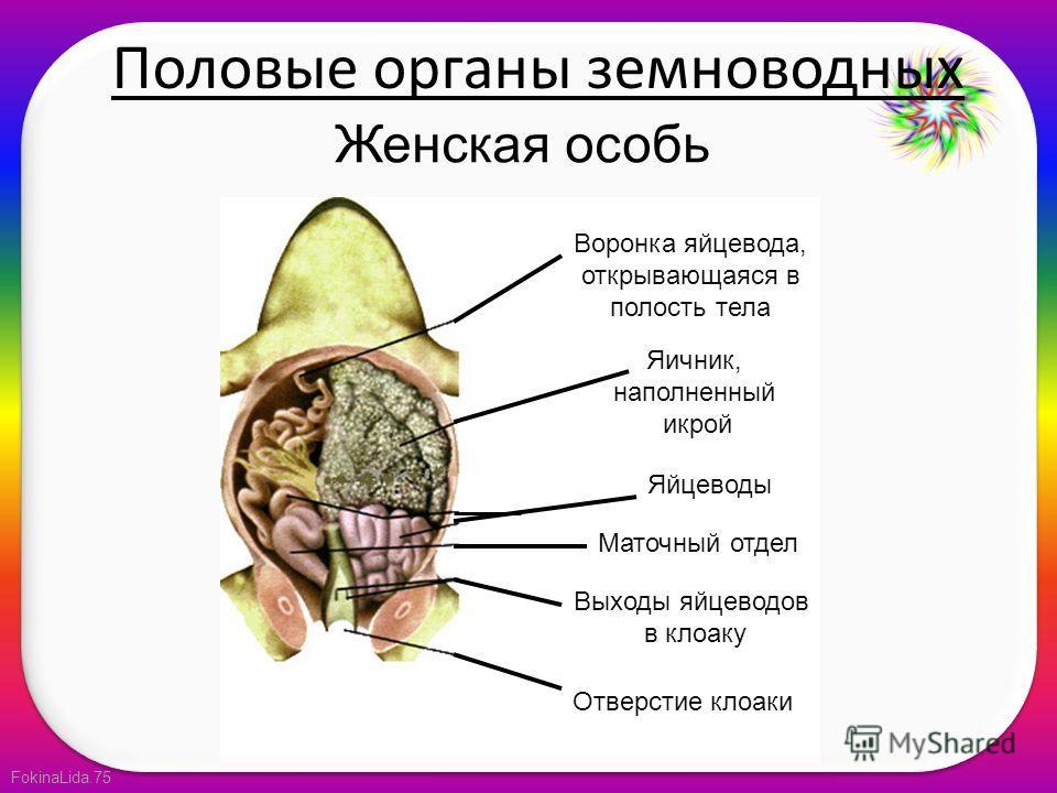 FokinaLida.75 Женская особь Воронка яйцевода, открывающаяся в полость тела Яичник, наполненный икрой Яйцеводы Маточный отдел Выходы яйцеводов в клоаку Отверстие клоаки Половые органы земноводных
