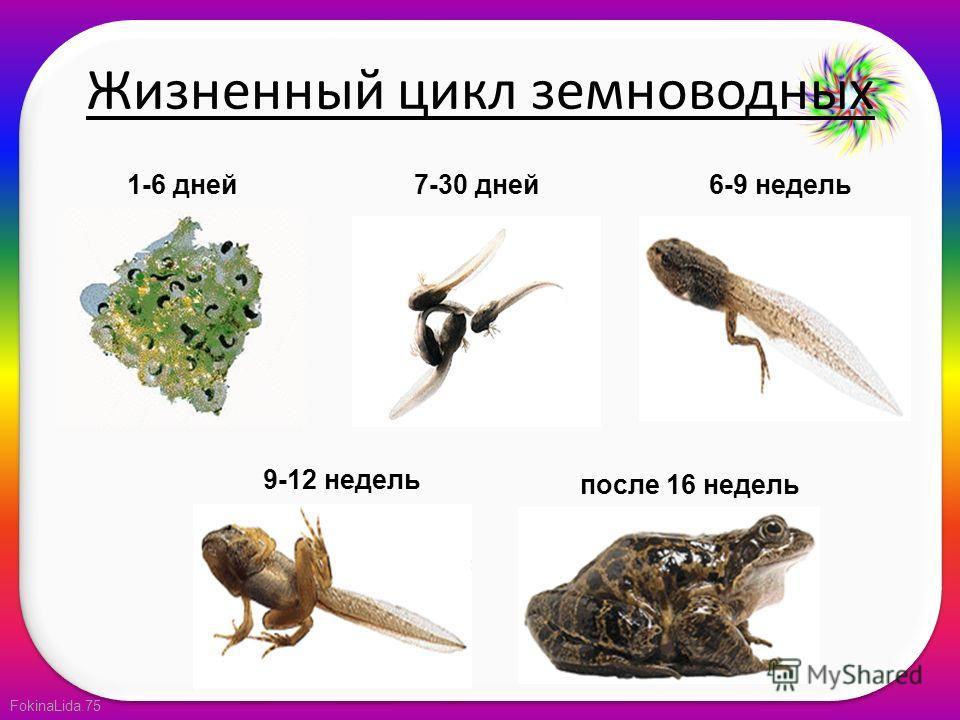 FokinaLida.75 Жизненный цикл земноводных 1-6 дней7-30 дней6-9 недель 9-12 недель после 16 недель
