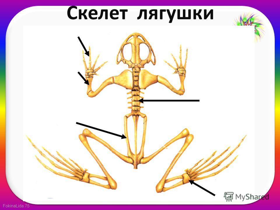 FokinaLida.75 Скелет лягушки