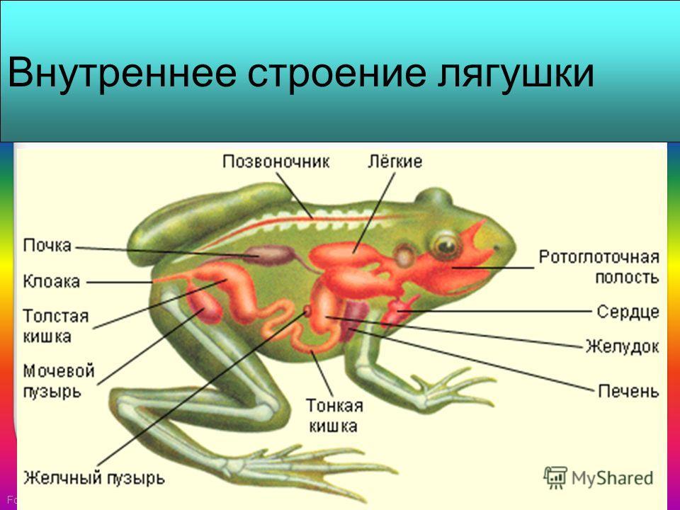 FokinaLida.75 Внутреннее строение лягушки