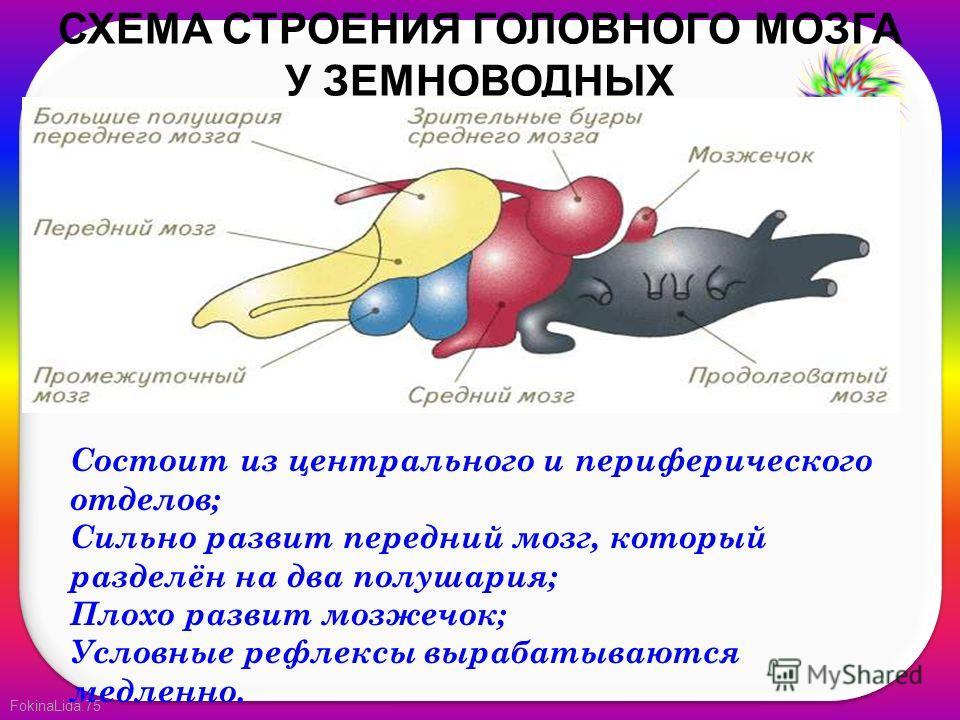 FokinaLida.75 СХЕМА СТРОЕНИЯ ГОЛОВНОГО МОЗГА У ЗЕМНОВОДНЫХ Состоит из центрального и периферического отделов; Сильно развит передний мозг, который разделён на два полушария; Плохо развит мозжечок; Условные рефлексы вырабатываются медленно.