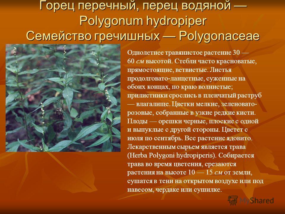 Горец перечный, перец водяной Polygonum hydropiper Семейство гречишных Polygonaceae Однолетнее травянистое растение 30 60 см высотой. Стебли часто красноватые, прямостоящие, ветвистые. Листья продолговато-ланцетные, суженные на обоих концах, по краю