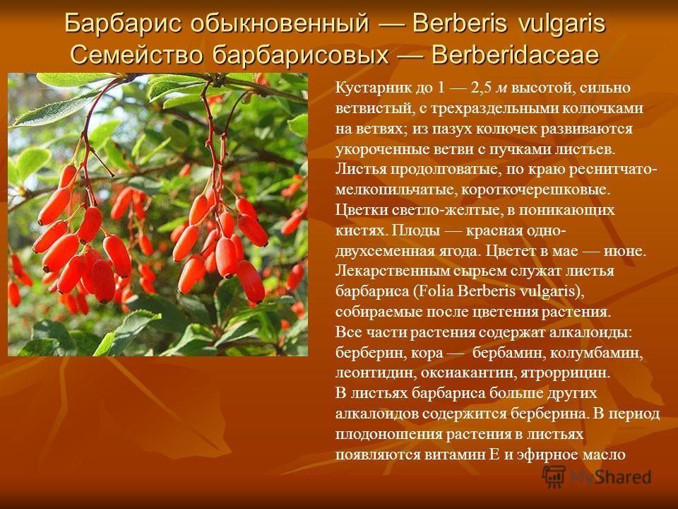 Барбарис обыкновенный Berberis vulgaris Семейство барбарисовых Berberidaceae Кустарник до 1 2,5 м высотой, сильно ветвистый, с трехраздельными колючками на ветвях; из пазух колючек развиваются укороченные ветви с пучками листьев. Листья продолговатые