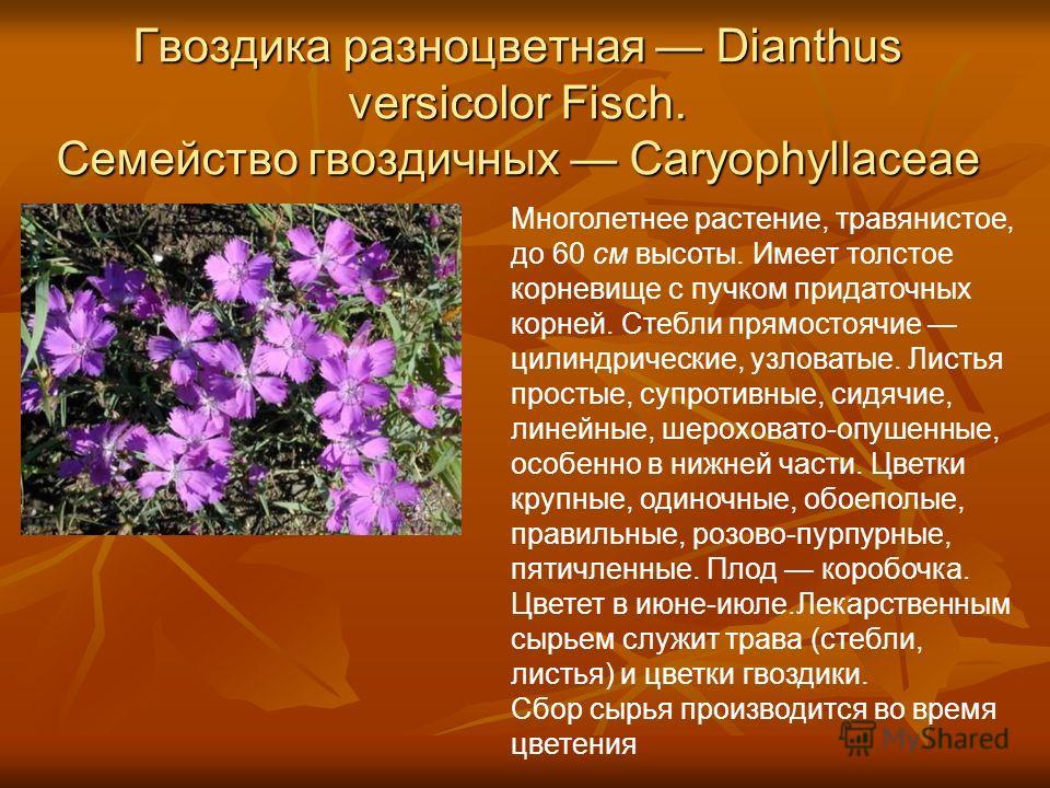 Гвоздика разноцветная Dianthus versicolor Fisch. Семейство гвоздичных Caryophyllaceae Многолетнее растение, травянистое, до 60 см высоты. Имеет толстое корневище с пучком придаточных корней. Стебли прямостоячие цилиндрические, узловатые. Листья прост