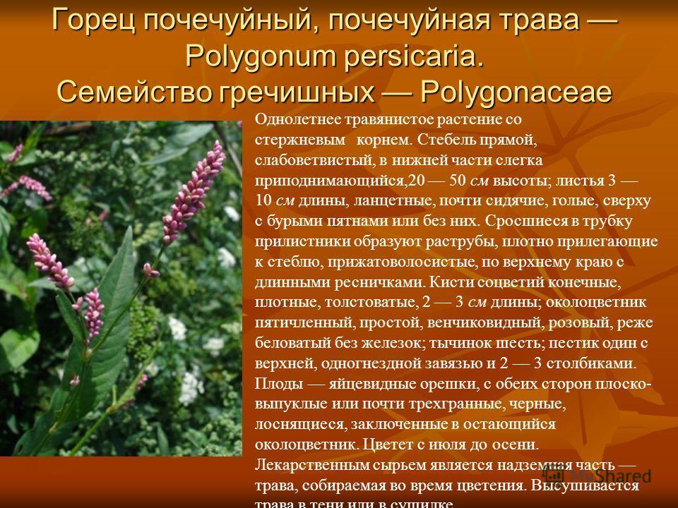Горец почечуйный, почечуйная трава Polygonum persicaria. Семейство гречишных Polygonaceae Однолетнее травянистое растение со стержневым корнем. Стебель прямой, слабоветвистый, в нижней части слегка приподнимающийся,20 50 см высоты; листья 3 10 см дли