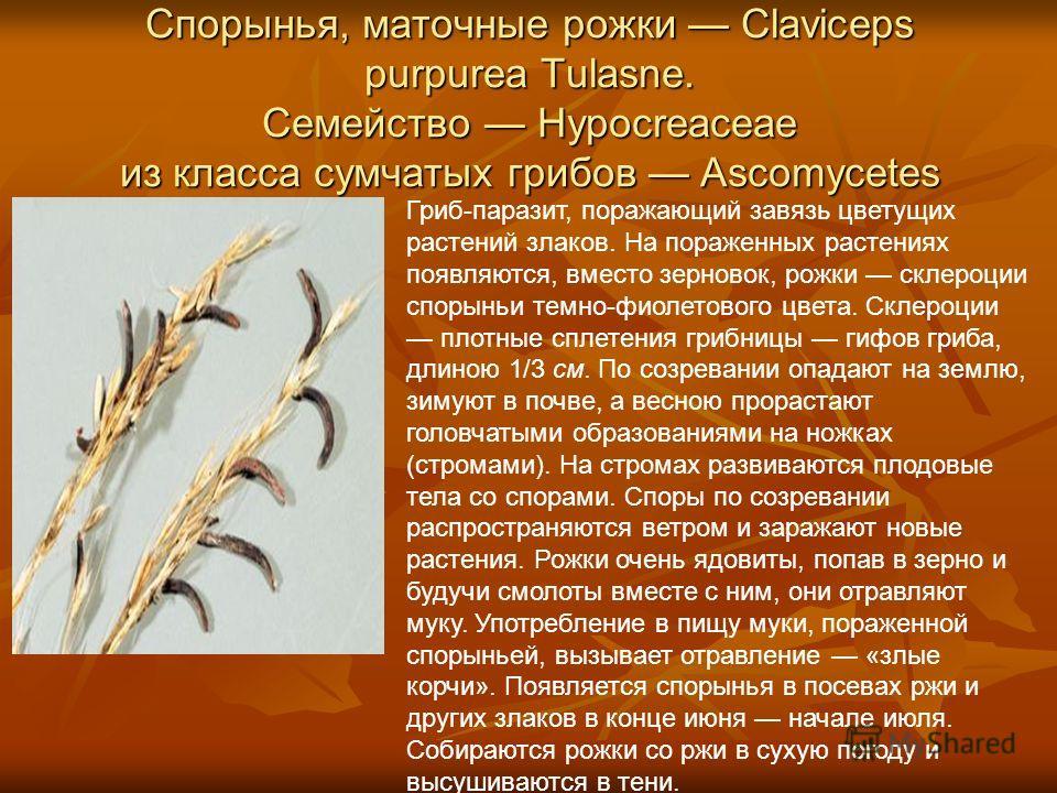 Спорынья, маточные рожки Claviceps purpurea Tulasne. Семейство Hypocreaceae из класса сумчатых грибов Ascomycetes Гриб-паразит, поражающий завязь цветущих растений злаков. На пораженных растениях появляются, вместо зерновок, рожки склероции спорыньи