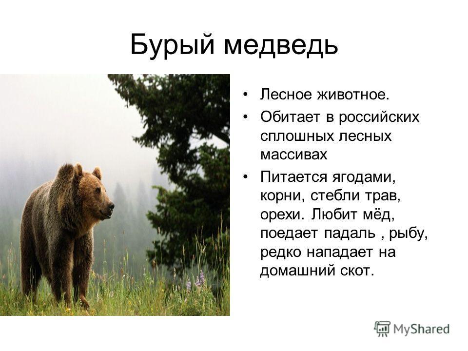 Бурый медведь Лесное животное. Обитает в российских сплошных лесных массивах Питается ягодами, корни, стебли трав, орехи. Любит мёд, поедает падаль, рыбу, редко нападает на домашний скот.