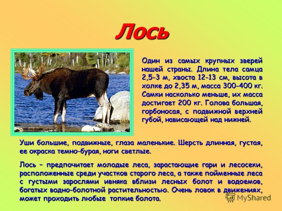 Лось Один из самых крупных зверей нашей страны. Длина тела самца 2,5-3 м, хвоста 12-13 см, высота в холке до 2,35 м, масса 300-400 кг. Самки насколько меньше, их масса достигает 200 кг. Голова большая, горбоносая, с подвижной верхней губой, нависающе