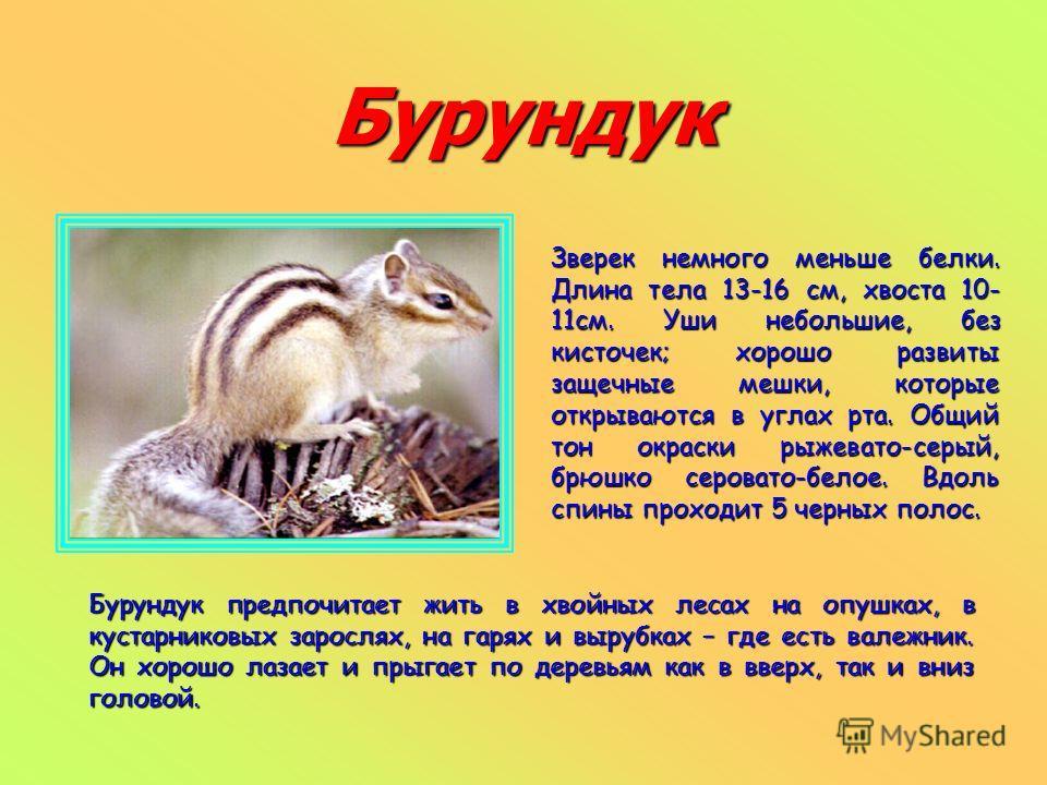 Бурундук Зверек немного меньше белки. Длина тела 13-16 см, хвоста 10- 11см. Уши небольшие, без кисточек; хорошо развиты защечные мешки, которые открываются в углах рта. Общий тон окраски рыжевато-серый, брюшко серовато-белое. Вдоль спины проходит 5 ч
