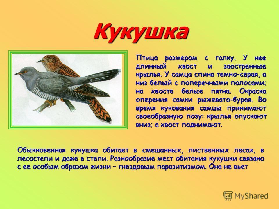 Кукушка Птица размером с галку. У нее длинный хвост и заостренные крылья. У самца спина темно-серая, а низ белый с поперечными полосами; на хвосте белые пятна. Окраска оперения самки рыжевато-бурая. Во время кукования самцы принимают своеобразную поз
