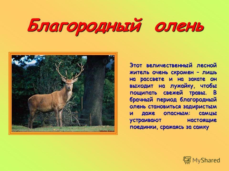 Благородный олень Этот величественный лесной житель очень скромен – лишь на рассвете и на закате он выходит на лужайку, чтобы пощипать свежей травы. В брачный период благородный олень становиться задиристым и даже опасным: самцы устраивают настоящие