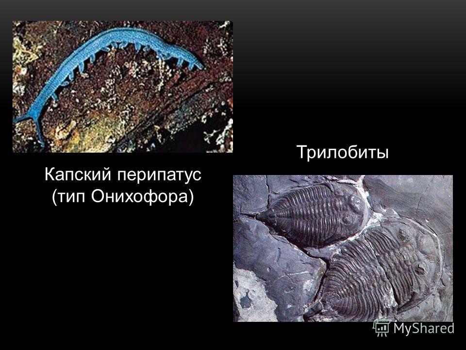 Капский перипатус (тип Онихофора) Трилобиты