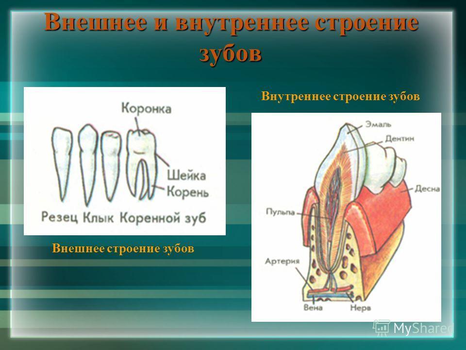 Внешнее и внутреннее строение зубов Внешнее строение зубов Внутреннее строение зубов