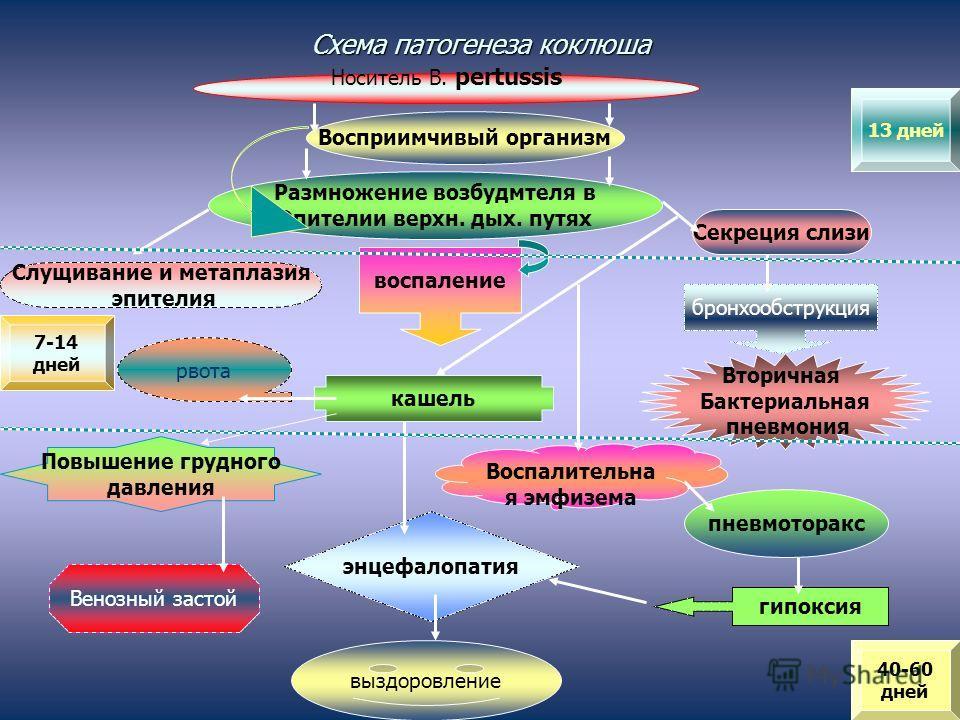 Схема патогенеза коклюша Носитель В. pertussis Восприимчивый организм Размножение возбудмтеля в Эпителии верхн. дых. путях воспаление Секреция слизи бронхообструкция Слущивание и метаплазия эпителия Вторичная Бактериальная пневмония кашель Воспалител