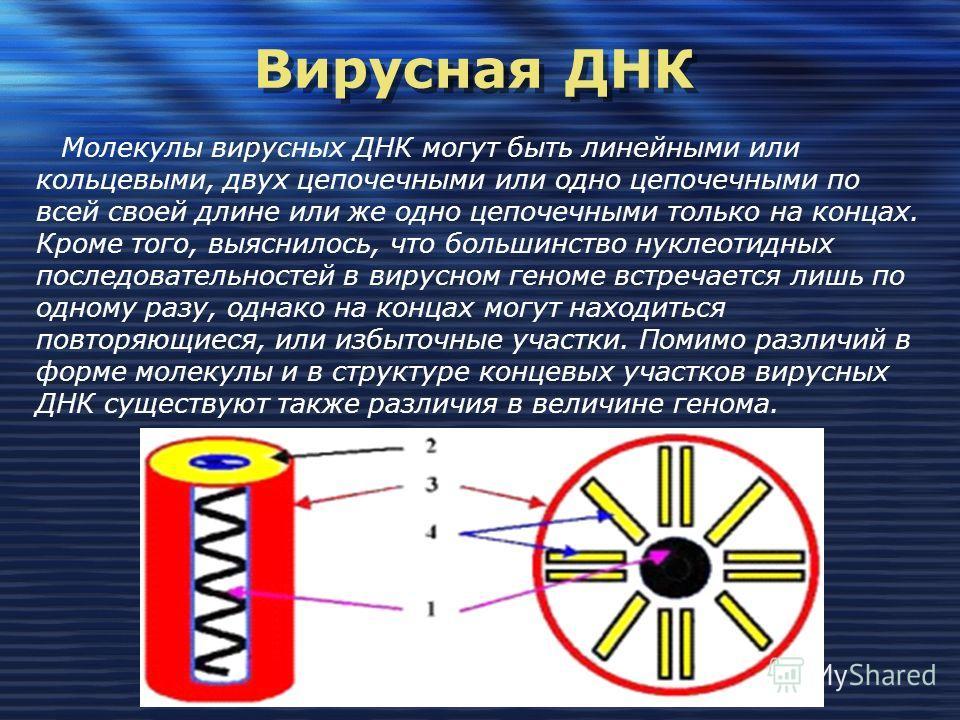 Вирусная ДНК Вирусная ДНК Молекулы вирусных ДНК могут быть линейными или кольцевыми, двух цепочечными или одно цепочечными по всей своей длине или же одно цепочечными только на концах. Кроме того, выяснилось, что большинство нуклеотидных последовател