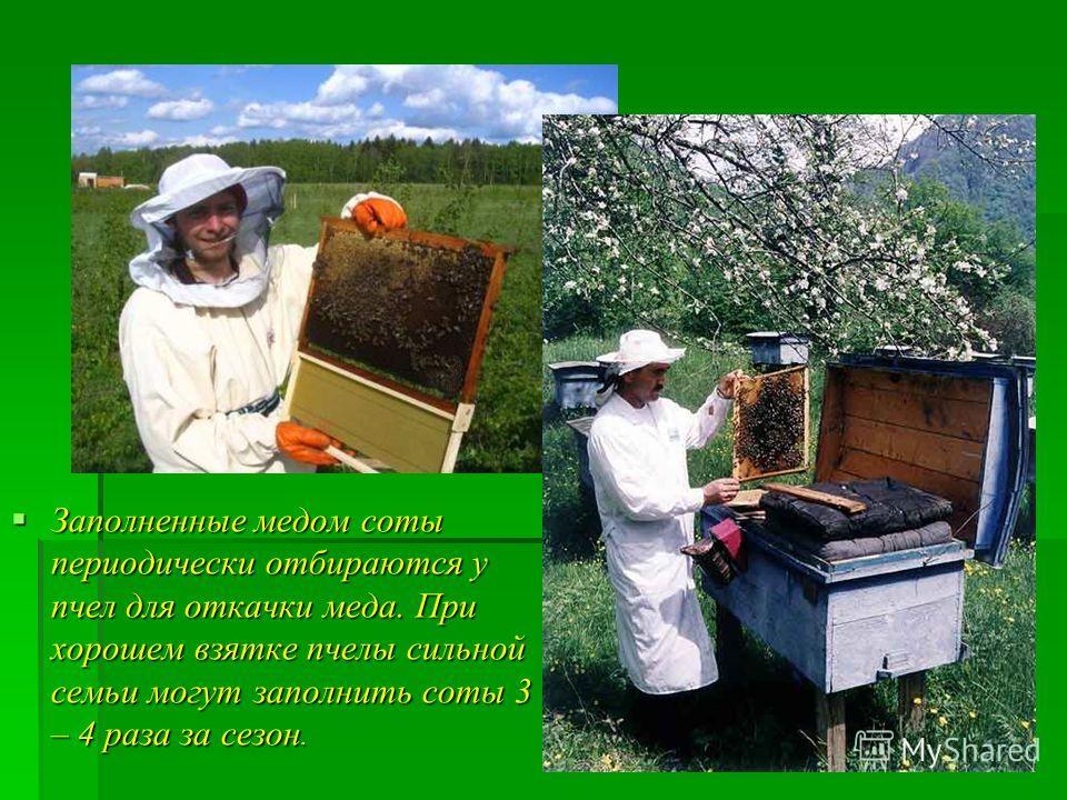 Заполненные медом соты периодически отбираются у пчел для откачки меда. При хорошем взятке пчелы сильной семьи могут заполнить соты 3 – 4 раза за сезон. Заполненные медом соты периодически отбираются у пчел для откачки меда. При хорошем взятке пчелы