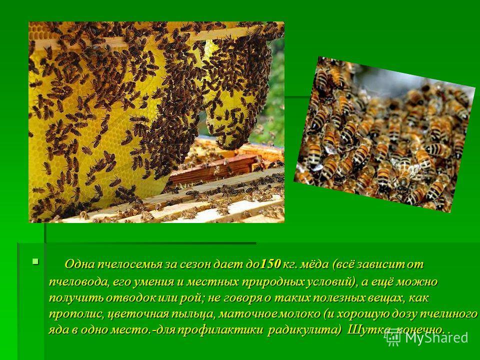 Одна пчелосемья за сезон дает до150 кг. мёда (всё зависит от пчеловода, его умения и местных природных условий), а ещё можно получить отводок или рой; не говоря о таких полезных вещах, как прополис, цветочная пыльца, маточное молоко (и хорошую дозу п