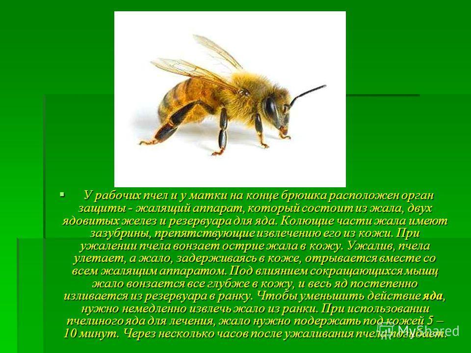 У рабочих пчел и у матки на конце брюшка расположен орган защиты - жалящий аппарат, который состоит из жала, двух ядовитых желез и резервуара для яда. Колющие части жала имеют зазубрины, препятствующие извлечению его из кожи. При ужалении пчела вонза