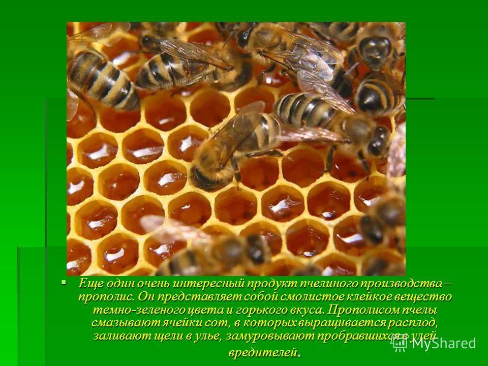 Еще один очень интересный продукт пчелиного производства – прополис. Он представляет собой смолистое клейкое вещество темно-зеленого цвета и горького вкуса. Прополисом пчелы смазывают ячейки сот, в которых выращивается расплод, заливают щели в улье,