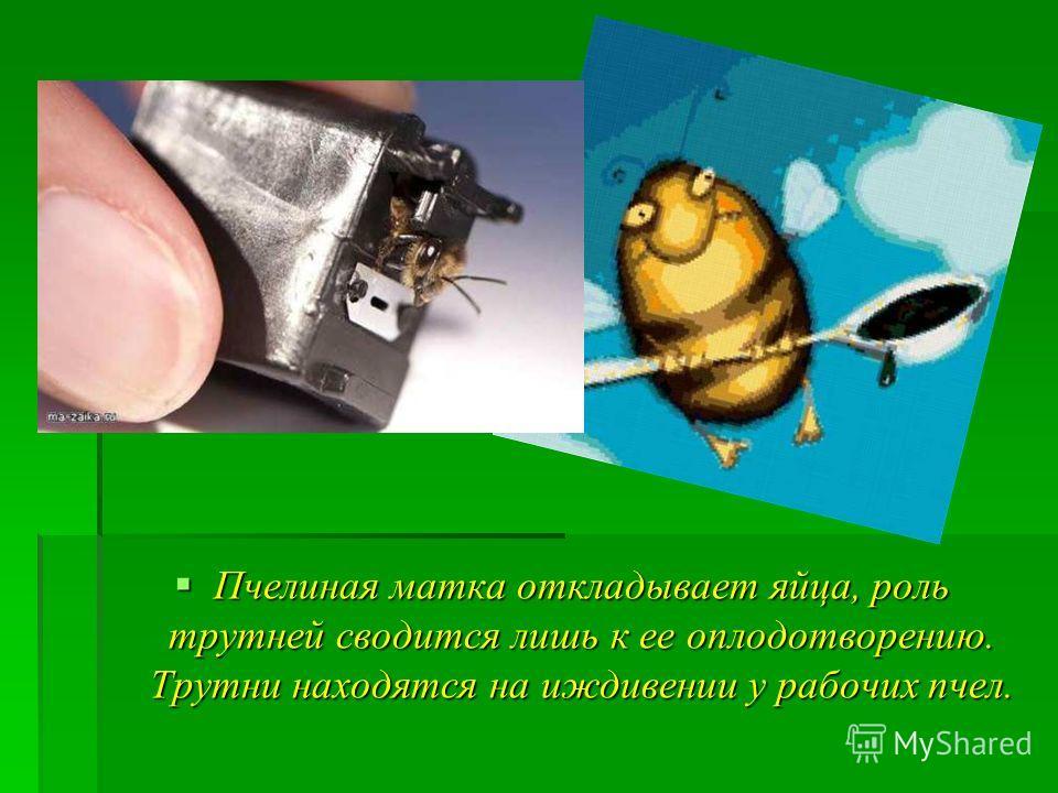 Пчелиная матка откладывает яйца, роль трутней сводится лишь к ее оплодотворению. Трутни находятся на иждивении у рабочих пчел. Пчелиная матка откладывает яйца, роль трутней сводится лишь к ее оплодотворению. Трутни находятся на иждивении у рабочих пч