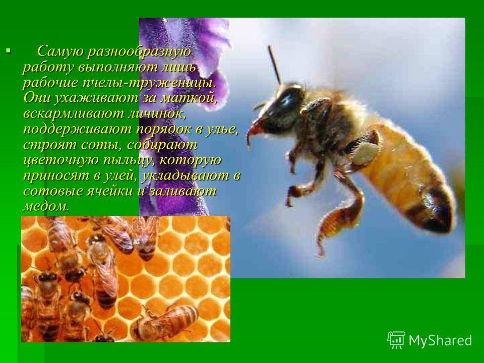 Самую разнообразную работу выполняют лишь рабочие пчелы-труженицы. Они ухаживают за маткой, вскармливают личинок, поддерживают порядок в улье, строят соты, собирают цветочную пыльцу, которую приносят в улей, укладывают в сотовые ячейки и заливают мед