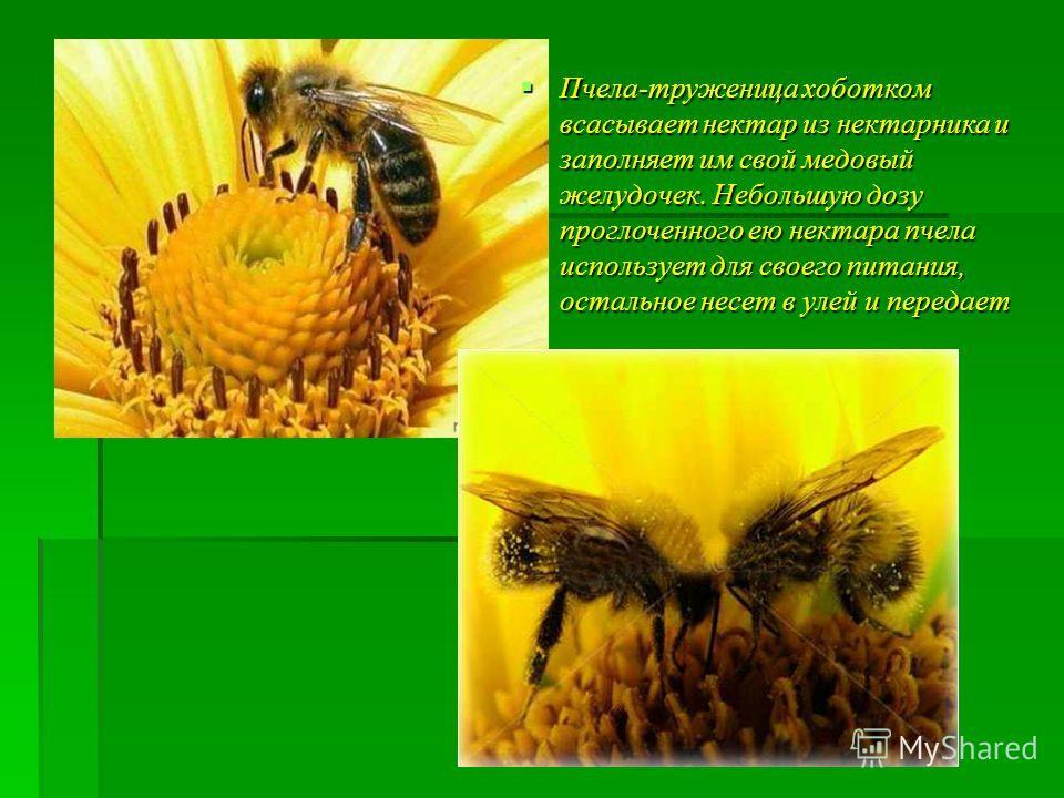 Пчела-труженица хоботком всасывает нектар из нектарника и заполняет им свой медовый желудочек. Небольшую дозу проглоченного ею нектара пчела использует для своего питания, остальное несет в улей и передает пчеле-приемщице. Пчела-труженица хоботком вс