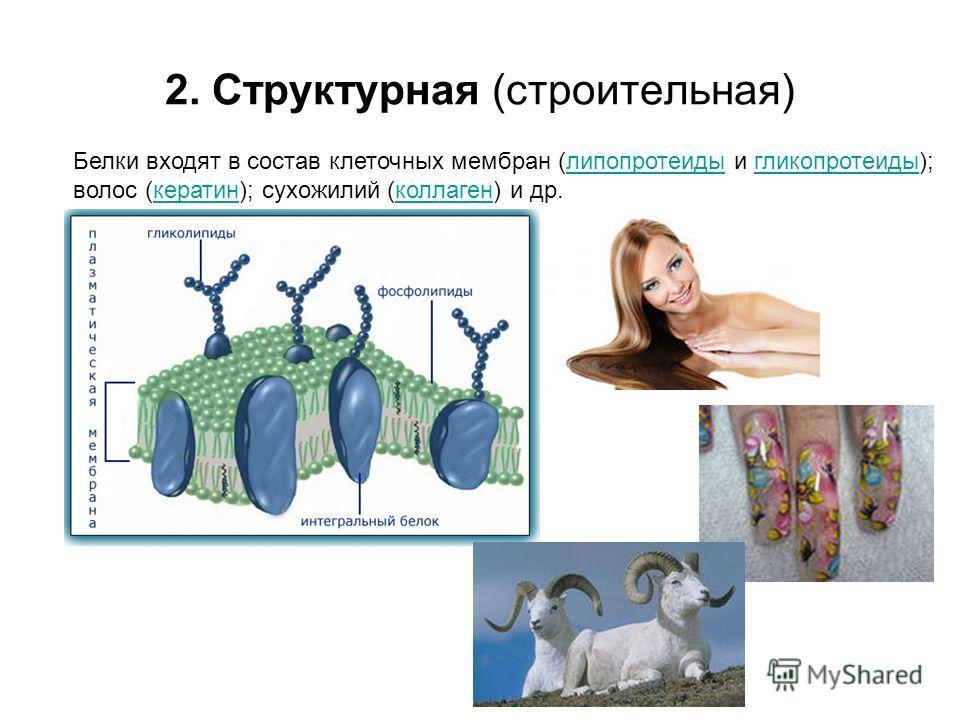 2. Структурная (строительная) Белки входят в состав клеточных мембран (липопротеиды и гликопротеиды); волос (кератин); сухожилий (коллаген) и др.липопротеидыгликопротеидыкератинколлаген