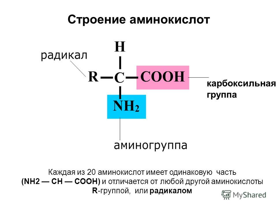 Строение аминокислот карбоксильная группа Каждая из 20 аминокислот имеет одинаковую часть (NH2 СН СООН) и отличается от любой другой аминокислоты R-группой, или радикалом