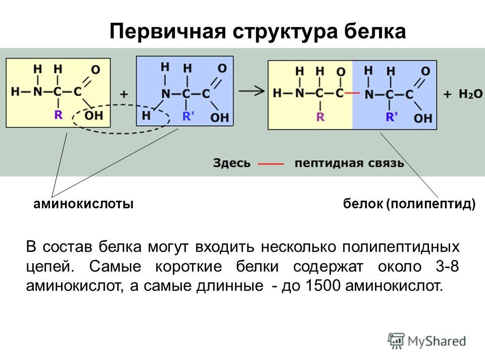 Первичная структура белка В состав белка могут входить несколько полипептидных цепей. Самые короткие белки содержат около 3-8 аминокислот, а самые длинные - до 1500 аминокислот. аминокислотыбелок (полипептид)