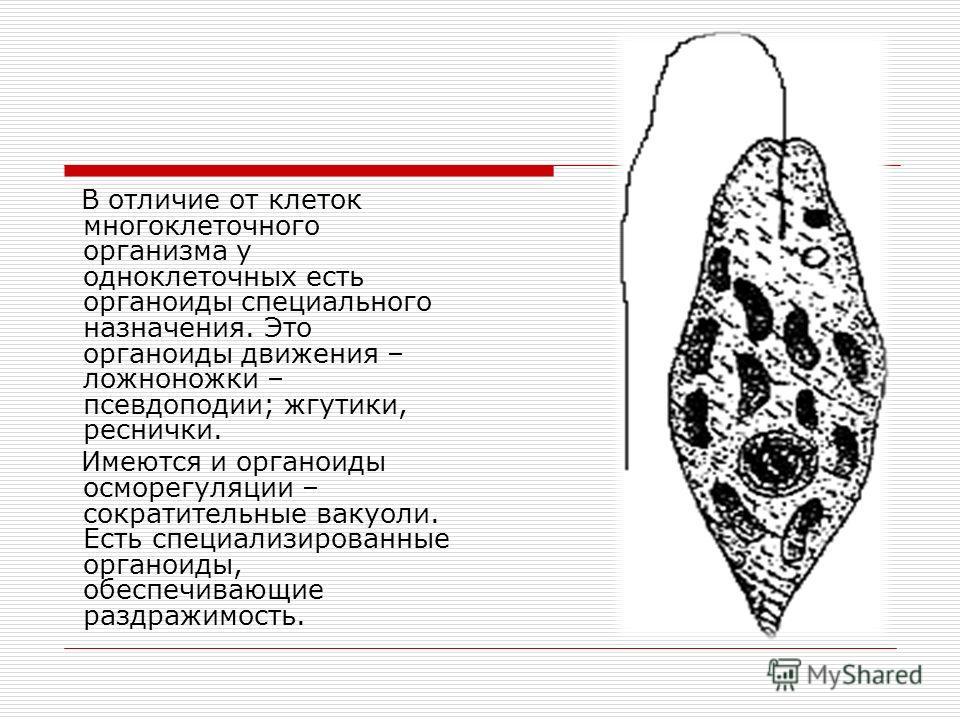 В отличие от клеток многоклеточного организма у одноклеточных есть органоиды специального назначения. Это органоиды движения – ложноножки – псевдоподии; жгутики, реснички. Имеются и органоиды осморегуляции – сократительные вакуоли. Есть специализиров