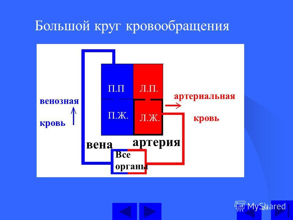 24 Большой круг кровообращения П.П П.Ж. Л.П. Л.Ж. Все органы артерия вена артериальная кровь венозная кровь