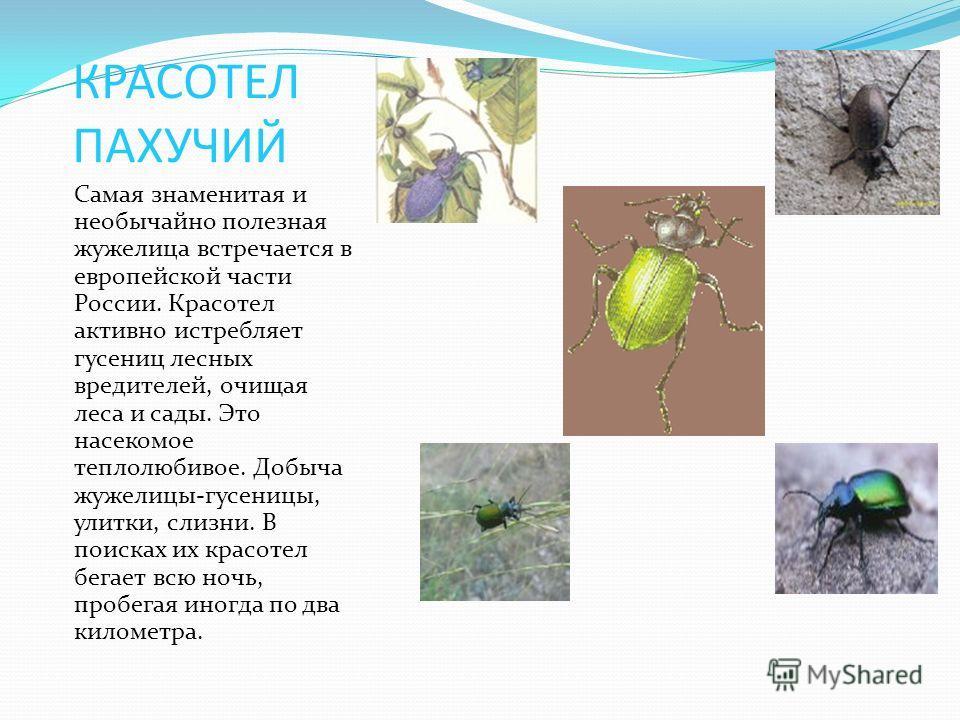 КРАСОТЕЛ ПАХУЧИЙ Самая знаменитая и необычайно полезная жужелица встречается в европейской части России. Красотел активно истребляет гусениц лесных вредителей, очищая леса и сады. Это насекомое теплолюбивое. Добыча жужелицы-гусеницы, улитки, слизни.