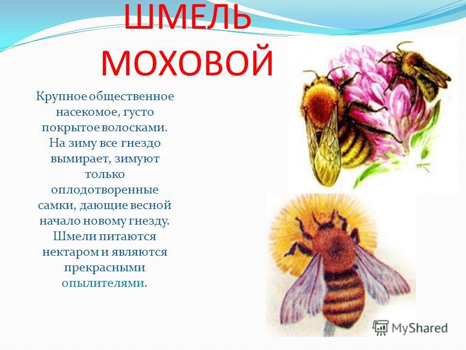 ШМЕЛЬ МОХОВОЙ Крупное общественное насекомое, густо покрытое волосками. На зиму все гнездо вымирает, зимуют только оплодотворенные самки, дающие весной начало новому гнезду. Шмели питаются нектаром и являются прекрасными опылителями.
