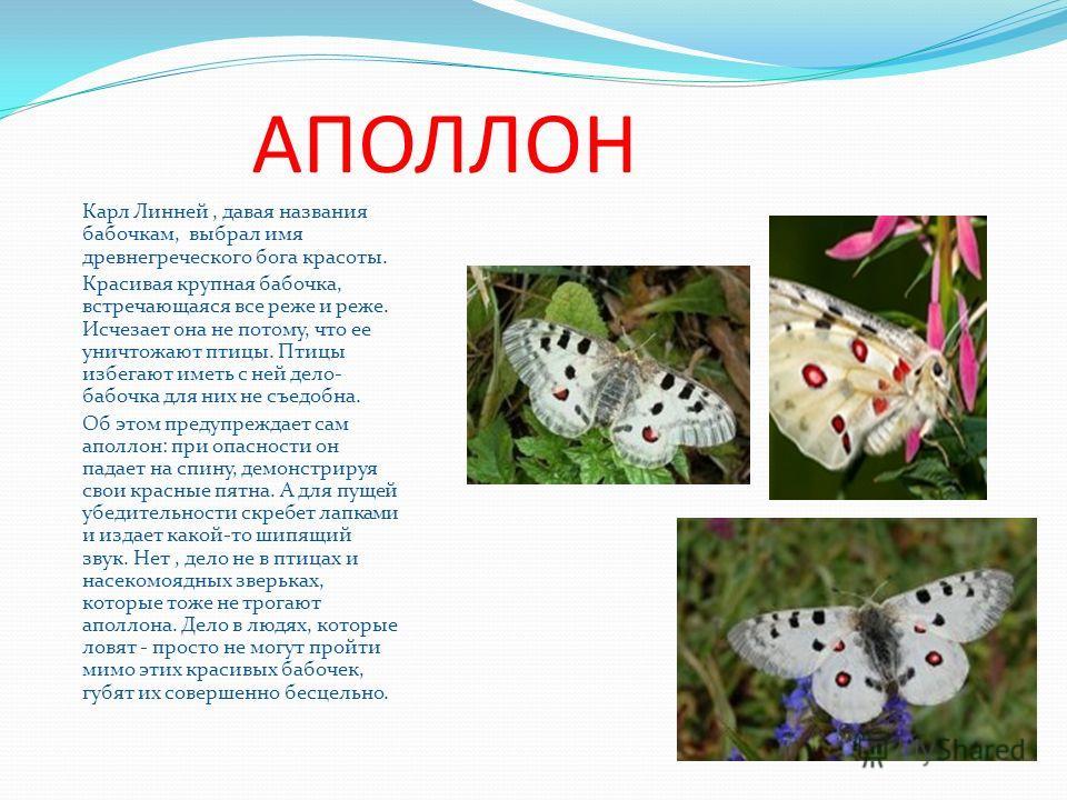АПОЛЛОН Карл Линней, давая названия бабочкам, выбрал имя древнегреческого бога красоты. Красивая крупная бабочка, встречающаяся все реже и реже. Исчезает она не потому, что ее уничтожают птицы. Птицы избегают иметь с ней дело- бабочка для них не съед