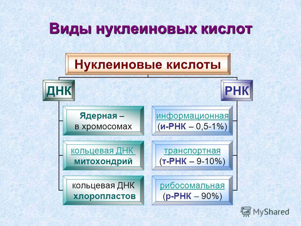 Нуклеиновые кислоты ДНК Ядерная – в хромосомах кольцевая ДНК митохондрий кольцевая ДНК хлоропластов РНК информационная (и-РНК – 0,5-1%) транспортная (т-РНК – 9-10%) рибосомальная (р-РНК – 90%) Виды нуклеиновых кислот