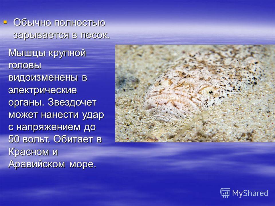 Обычно полностью зарывается в песок. Обычно полностью зарывается в песок. Мышцы крупной головы видоизменены в электрические органы. Звездочет может нанести удар с напряжением до 50 вольт. Обитает в Красном и Аравийском море.