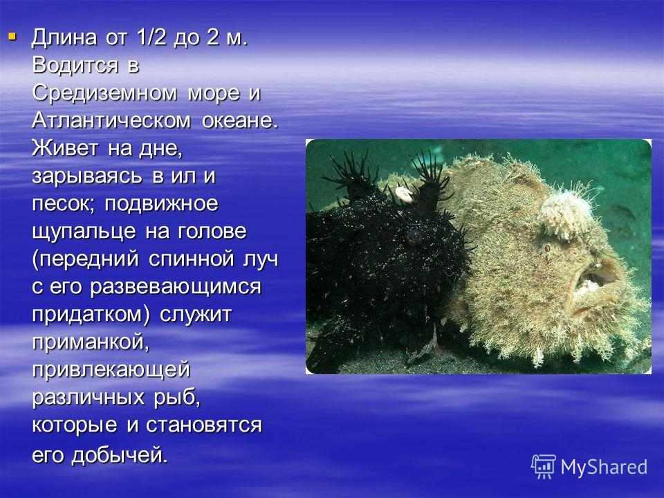 Длина от 1/2 до 2 м. Водится в Средиземном море и Атлантическом океане. Живет на дне, зарываясь в ил и песок; подвижное щупальце на голове (передний спинной луч с его развевающимся придатком) служит приманкой, привлекающей различных рыб, которые и ст