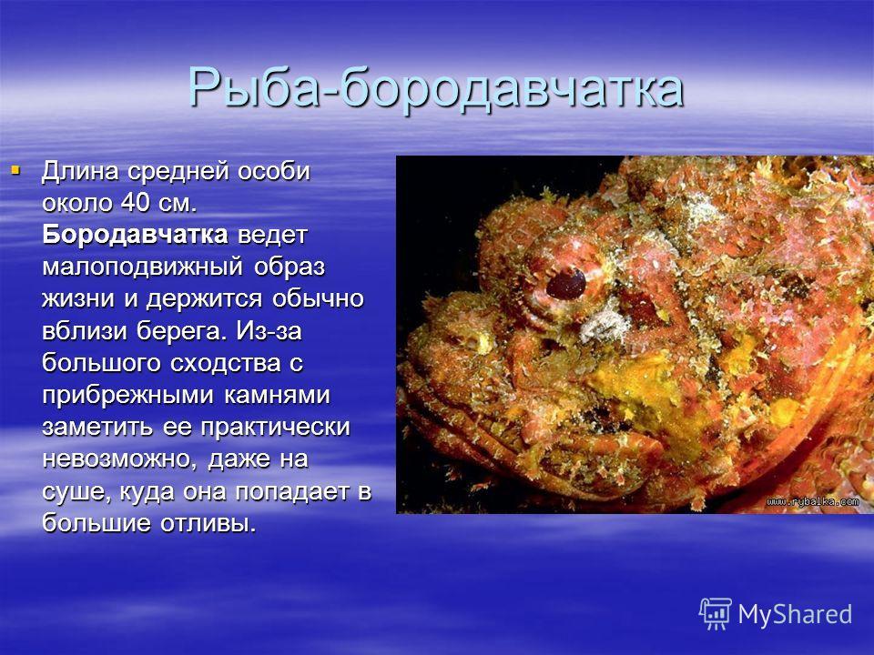 Рыба-бородавчатка Длина средней особи около 40 см. Бородавчатка ведет малоподвижный образ жизни и держится обычно вблизи берега. Из-за большого сходства с прибрежными камнями заметить ее практически невозможно, даже на суше, куда она попадает в больш