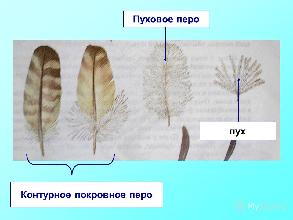 Контурное покровное перо Пуховое перо пух